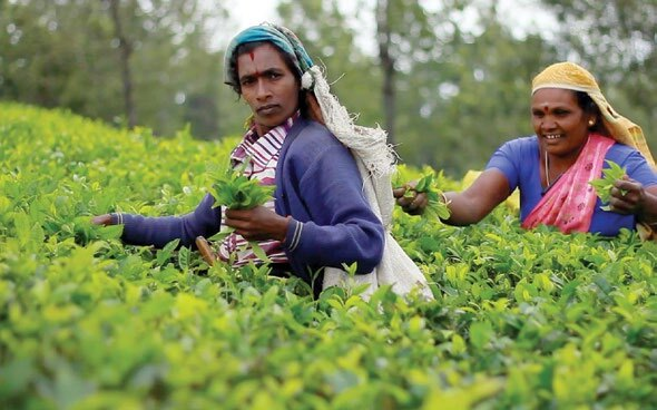Page 14 of Planting Hope in Sri Lanka's Tea Plantations
