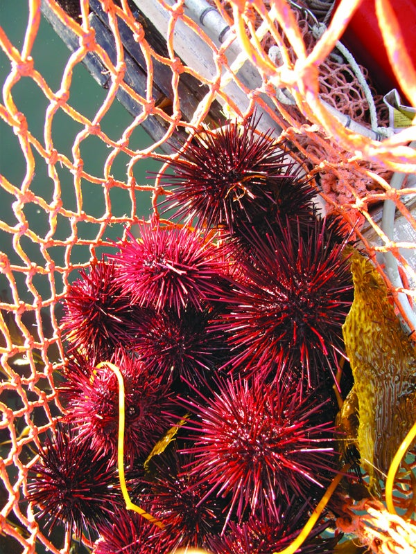 Page 44 of In Search of Local Sea Urchin