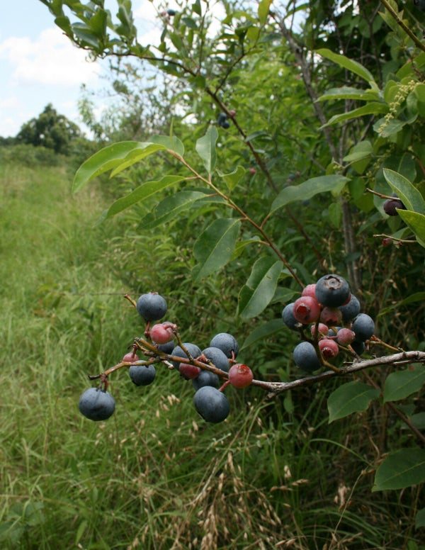 Page 16 of Byne Blueberry Farms: leading the way in organic farming