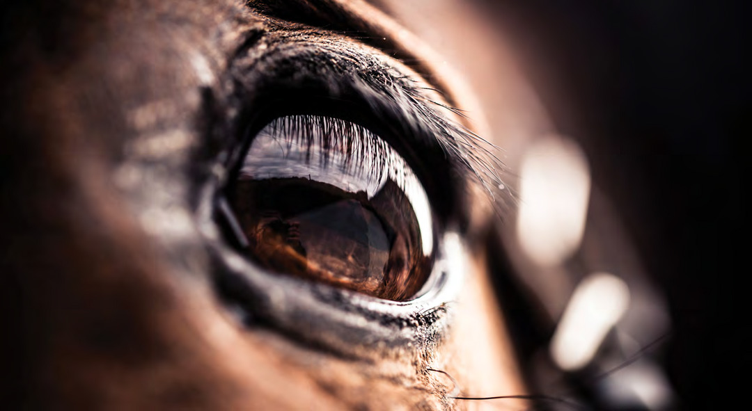 Page 12 of EQUINE OCULAR DISEASE IS COMMON