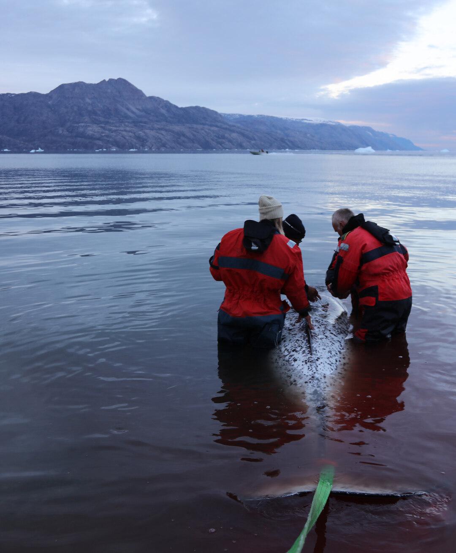 Page 46 of Kortlægning af de østgrønlandske narhvaler