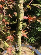 Japanese Maples For Winter Interest Issuu