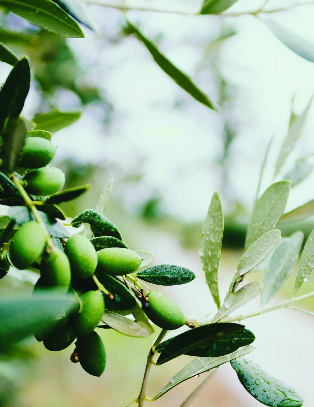 Olive Trees Issuu