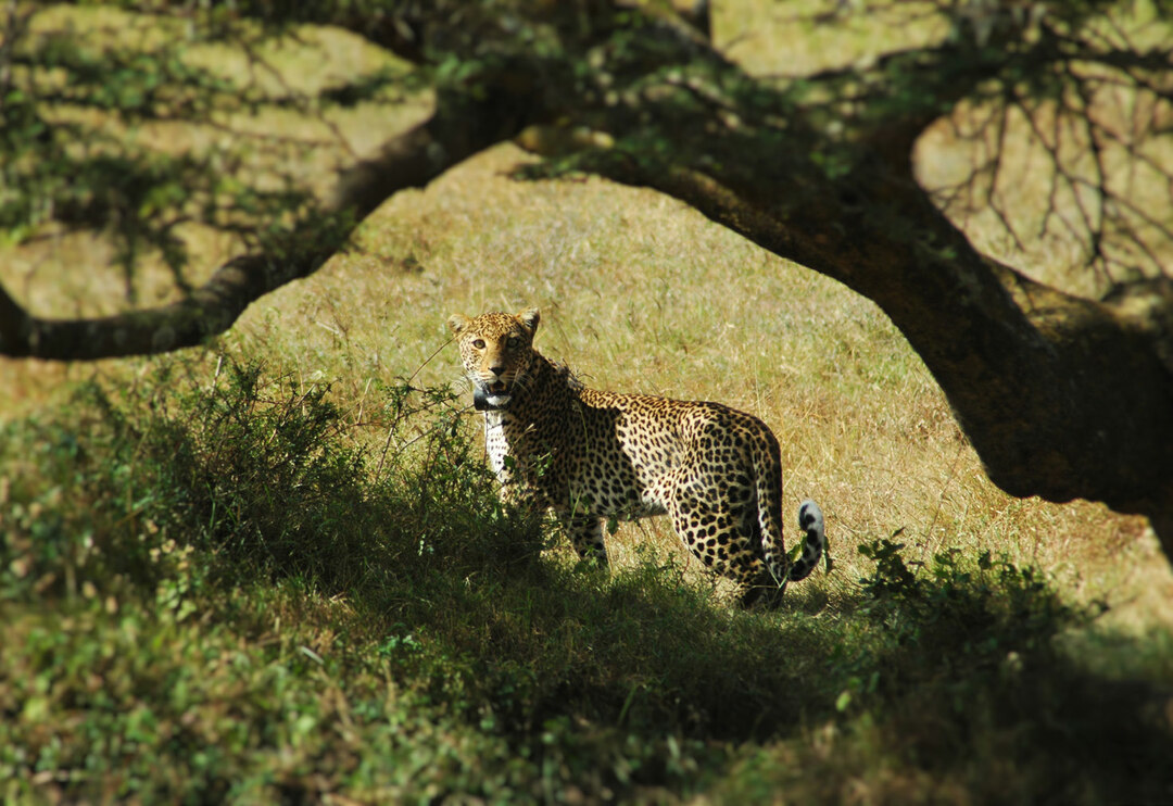 Page 42 of Nairobi's Elusive Big Cat