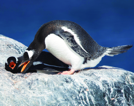 Page 46 of Good Housekeeping Gentoo Penguin, D\u2019Hainaut Island Palmer Archipelago