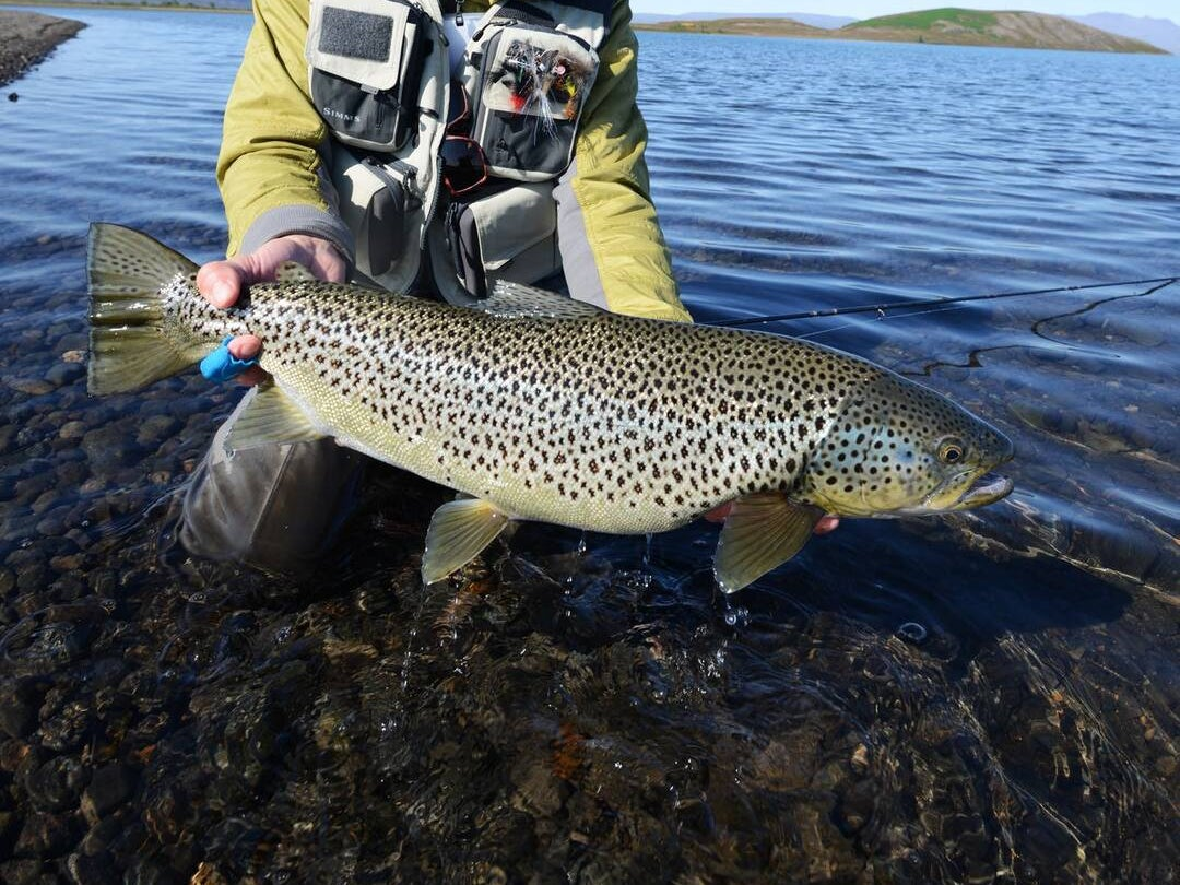 Page 10 of Trout, Salmon and Char: The Salmonids of Iceland - Pt II