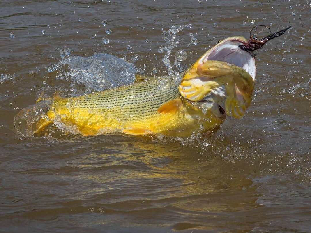 Page 78 of Tsimane Revisited: Golden Dorado in the Jungle