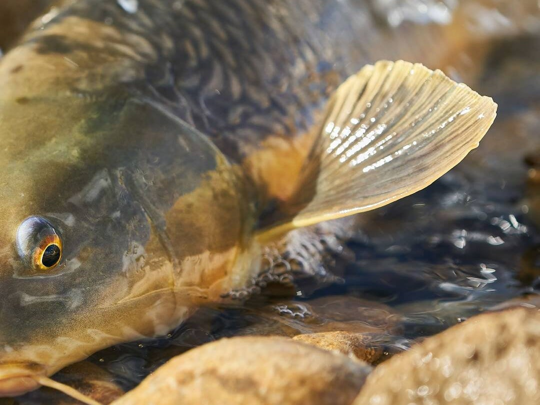 """Page 44 of Spain: Freshwater sight-fishing for golden""""bonefish"""""""
