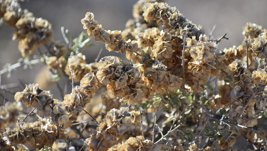 Page 13 of Four Wing Saltbush