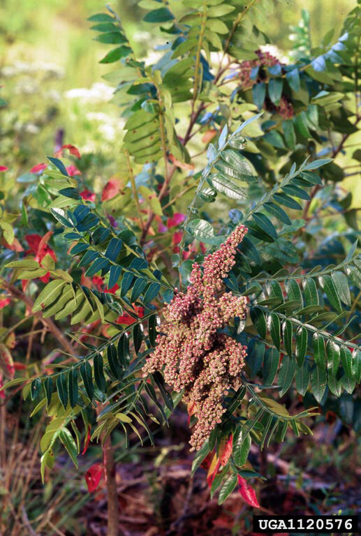 Page 32 of Native Plant Highlight: Winged Sumac