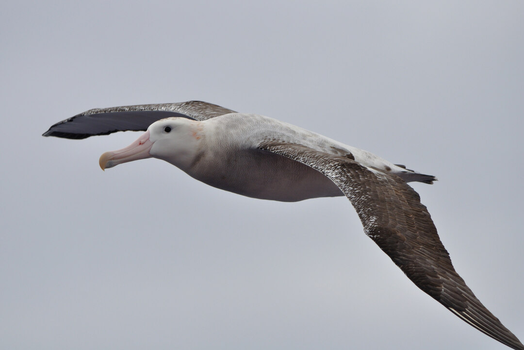 Page 22 of Conservation crisis for world's Albatrosses and Petrels