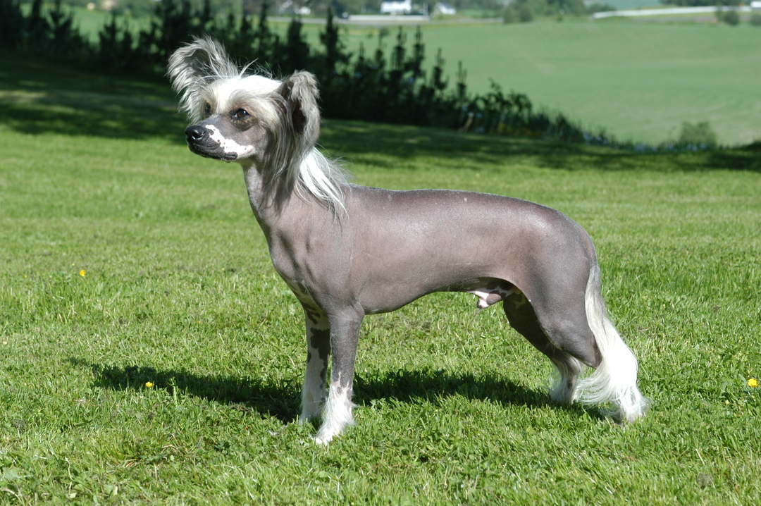 Page 12 of The Chinese Crested Dog