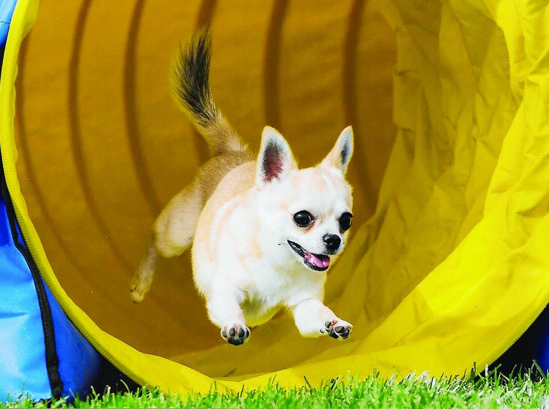 Page 8 of Is Agility Right for Your Dog - and You?