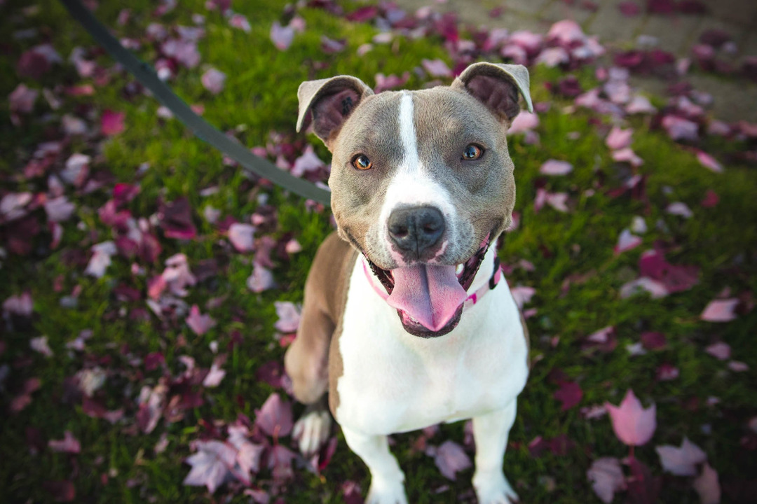 Page 10 of American Pit Bull Terrier