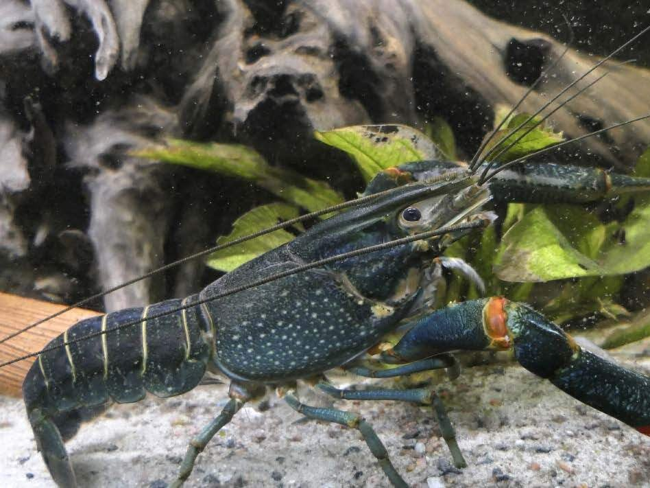 Page 32 of Are we making the same mistake again? The redclaw crayfish, a prominent aquaculture species introduced worldwide