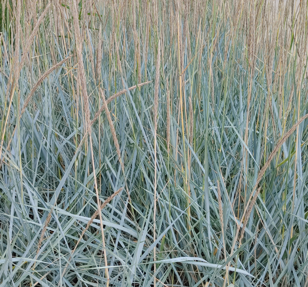 Page 18 of Ornamental Grass Planting and Care